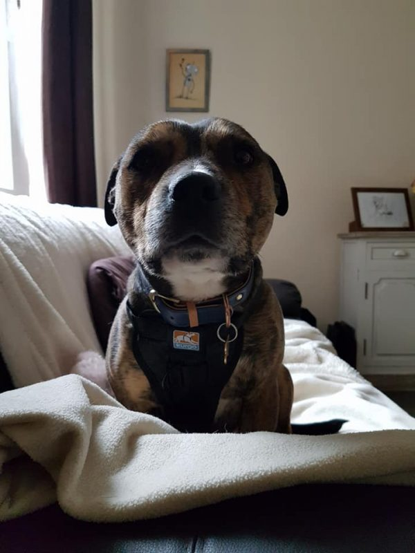 Crash tested harness for staffordshire bull terriers