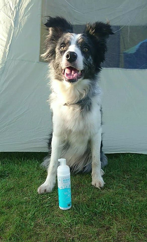 Stinky border collie use miracle dry shampoo