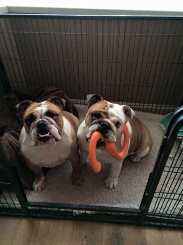 bum tug toy for 2 bulldogs